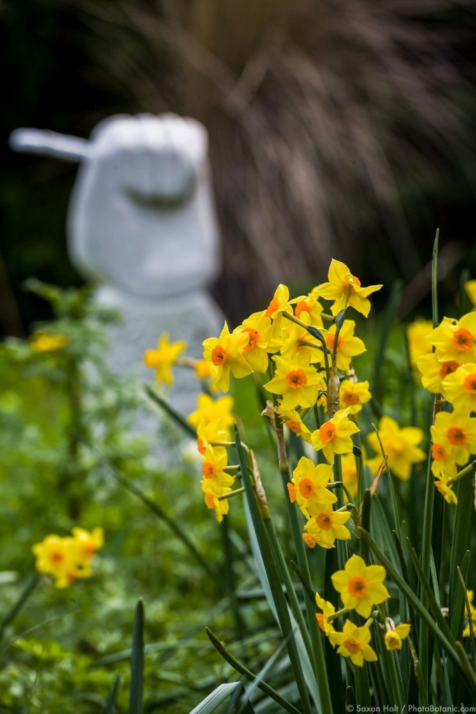 Daffodil meadow with Tazetta narcissus, 'Falconet' in my spring garden