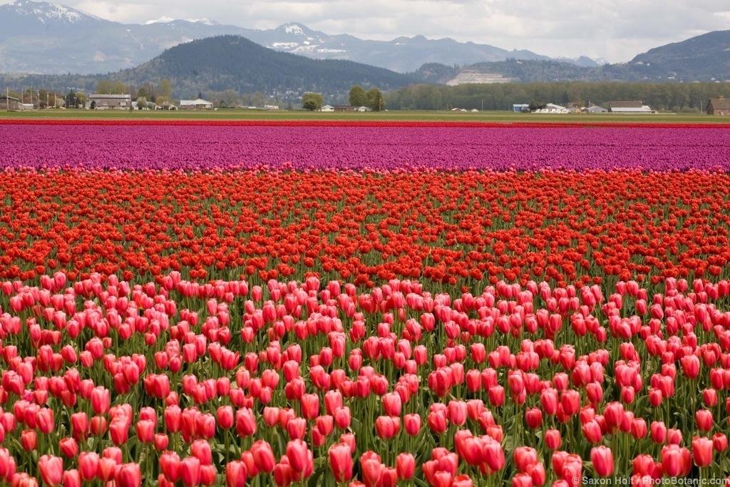 Tulip Festival, Skakgit Valley