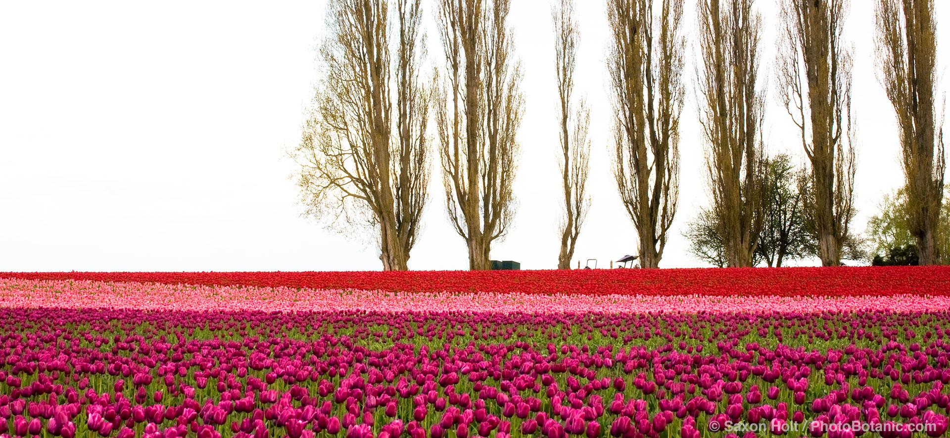 panorama Tulip Festival, Skakgit Valley