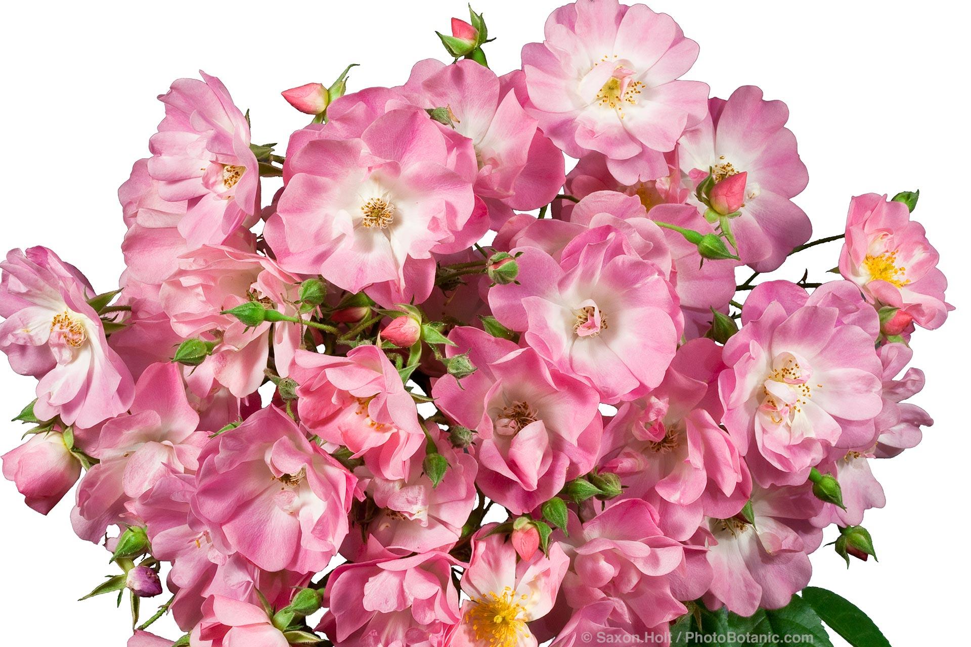 apple blossom rose flower silhouette
