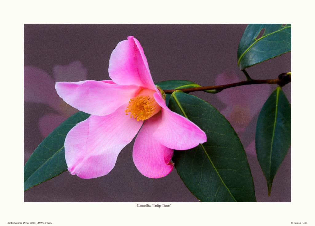 Camellia_Tulip-Time