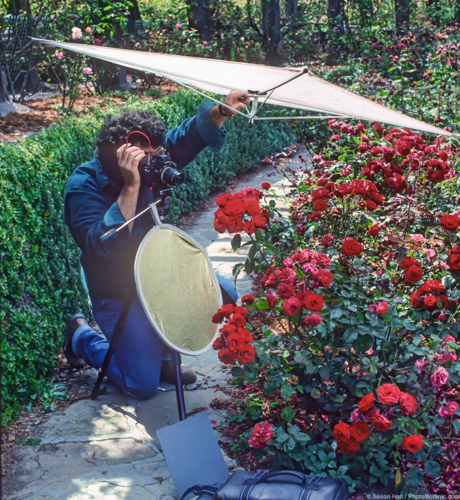 Photographer using reflectors and scrim photographing roses on sunny day