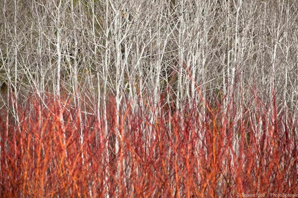 Red Osier dogwood shrub Cornus stolonifera,