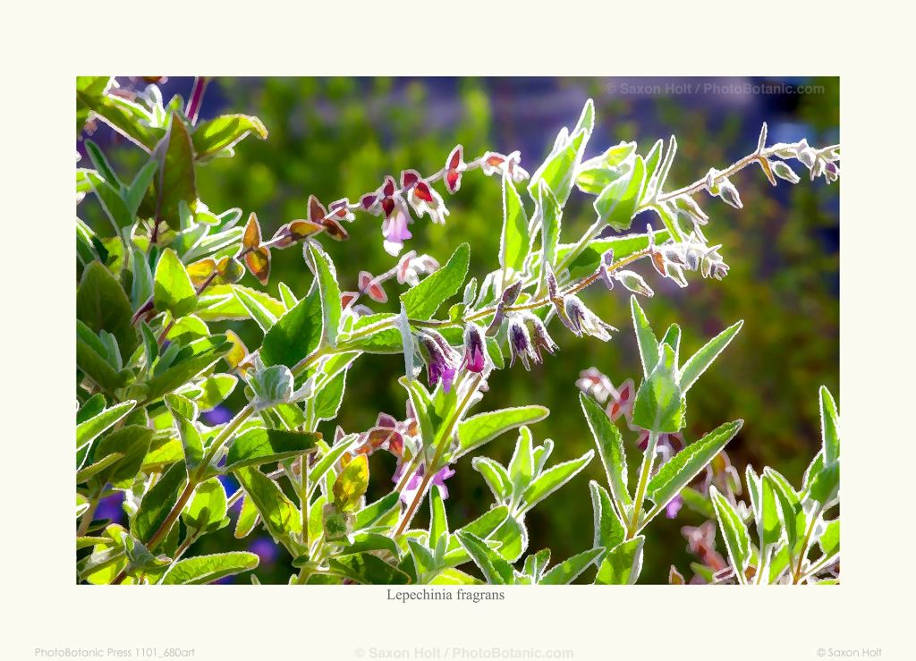 Photo art Lepechinia fragrans