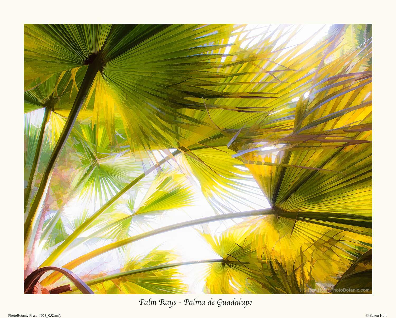 Palm Rays - Palma de Guadalupe
