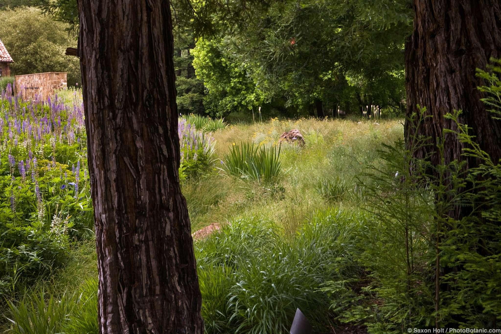 Meadow as rain garden seen through trees edging California naturalistic garden