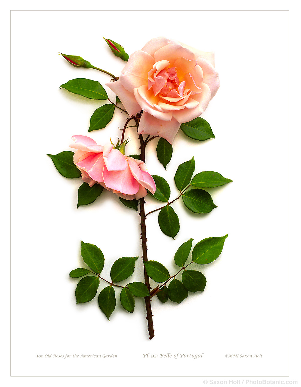 belle of portugal rose; smith & hawken photobotanic art print