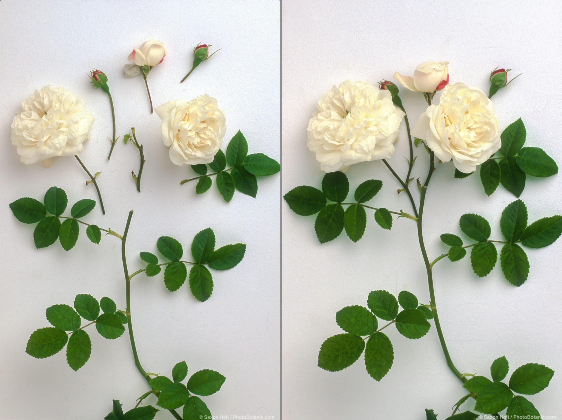 Exploded view of PhotoBotanic illustration of white rose 'Madame Plantier' on white background