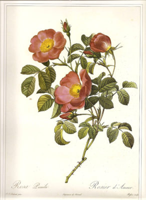 redouté rose print, Rosa pumila