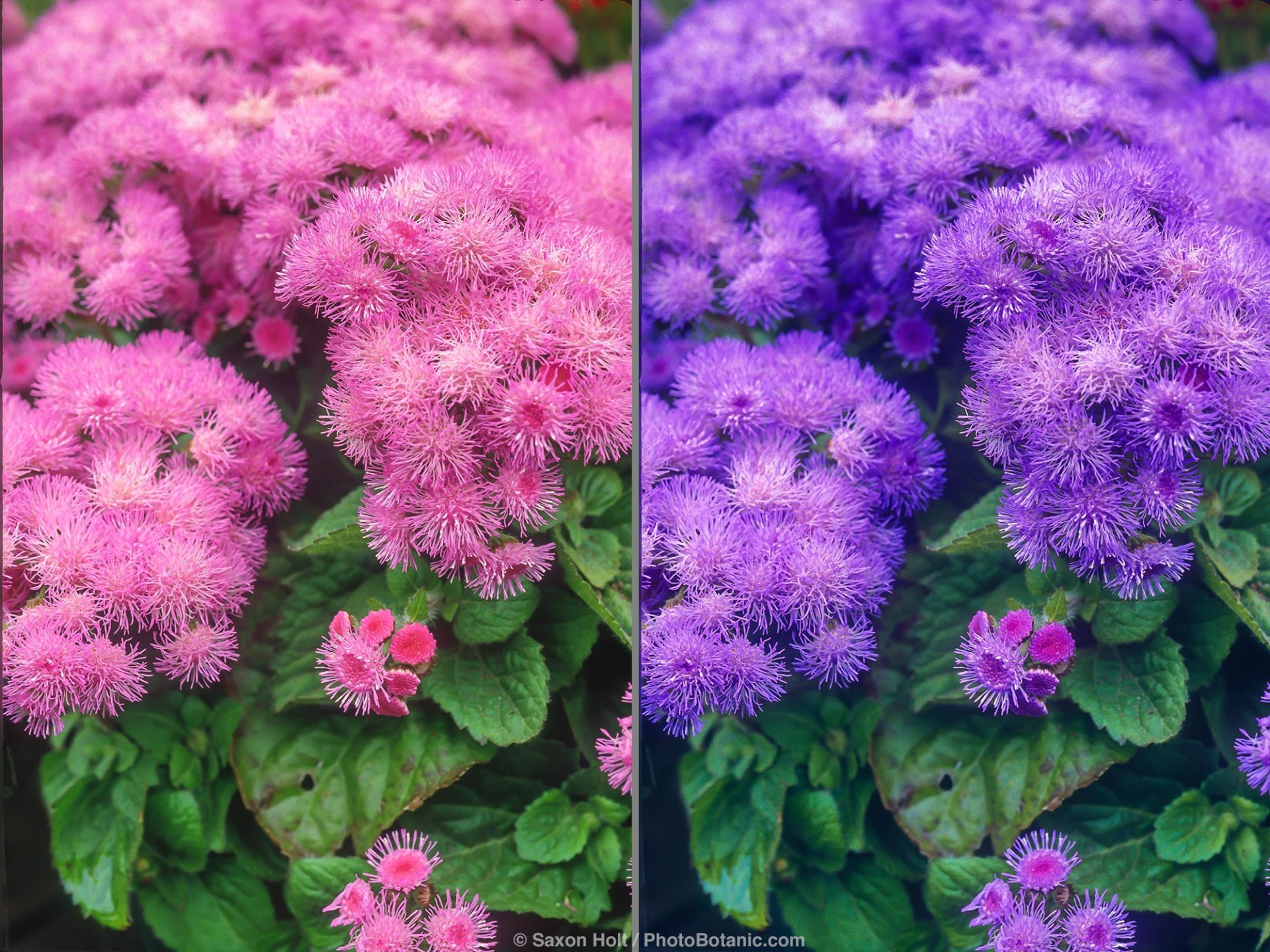 Ageratum Blue Danube What color does Mother Nature think is correct