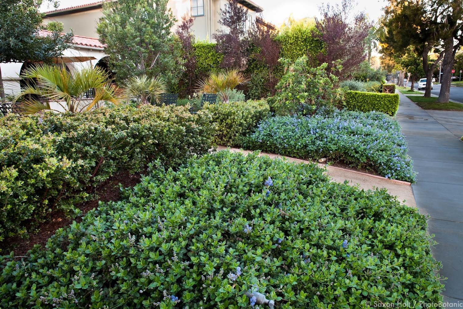 Low grown forms of manzanita and Ceanothus can be pruned to neat ground covers.
