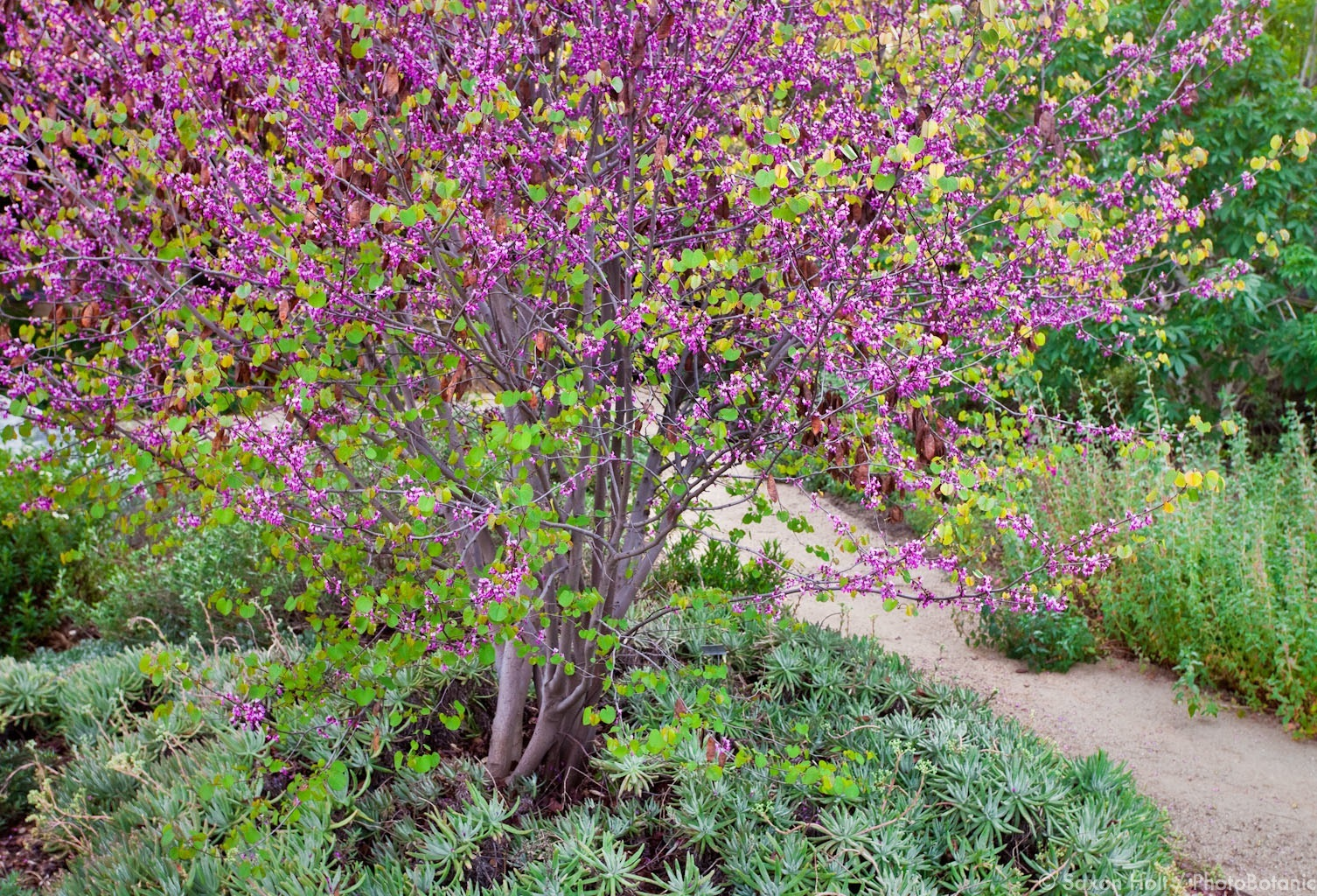 A well placed flowering Redbud has just as much impact as a flowering cherry tree.