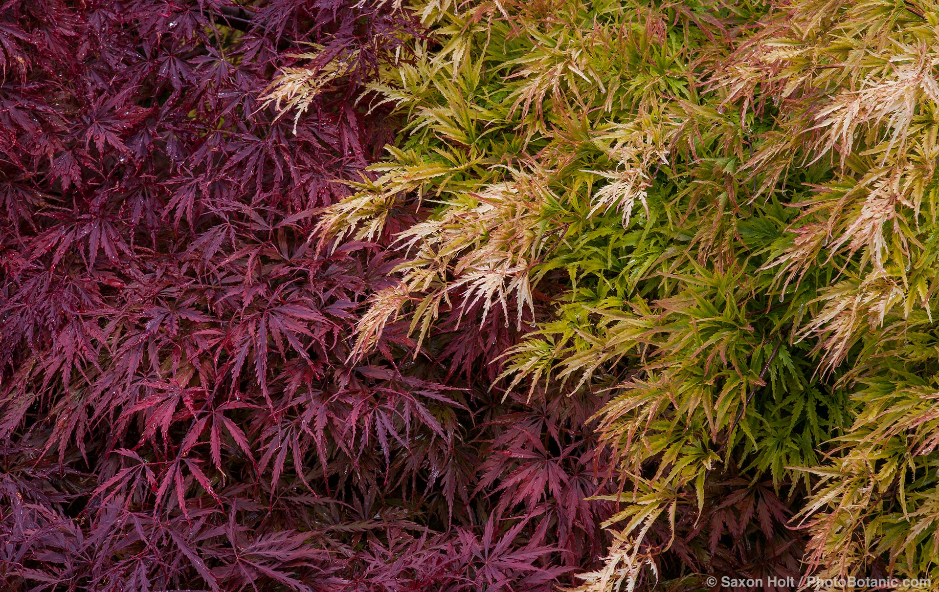 Acer palmatum 'Shigure Bato', green foliage Japanese maple tree with purple foliage Acer palmatum ' Tamukeyama'