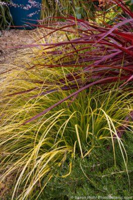 Carex oshimensis 'Everillo' EverColor Sedge, with Cordyline 'Design-A-Line' in garden border; Sunset Plants