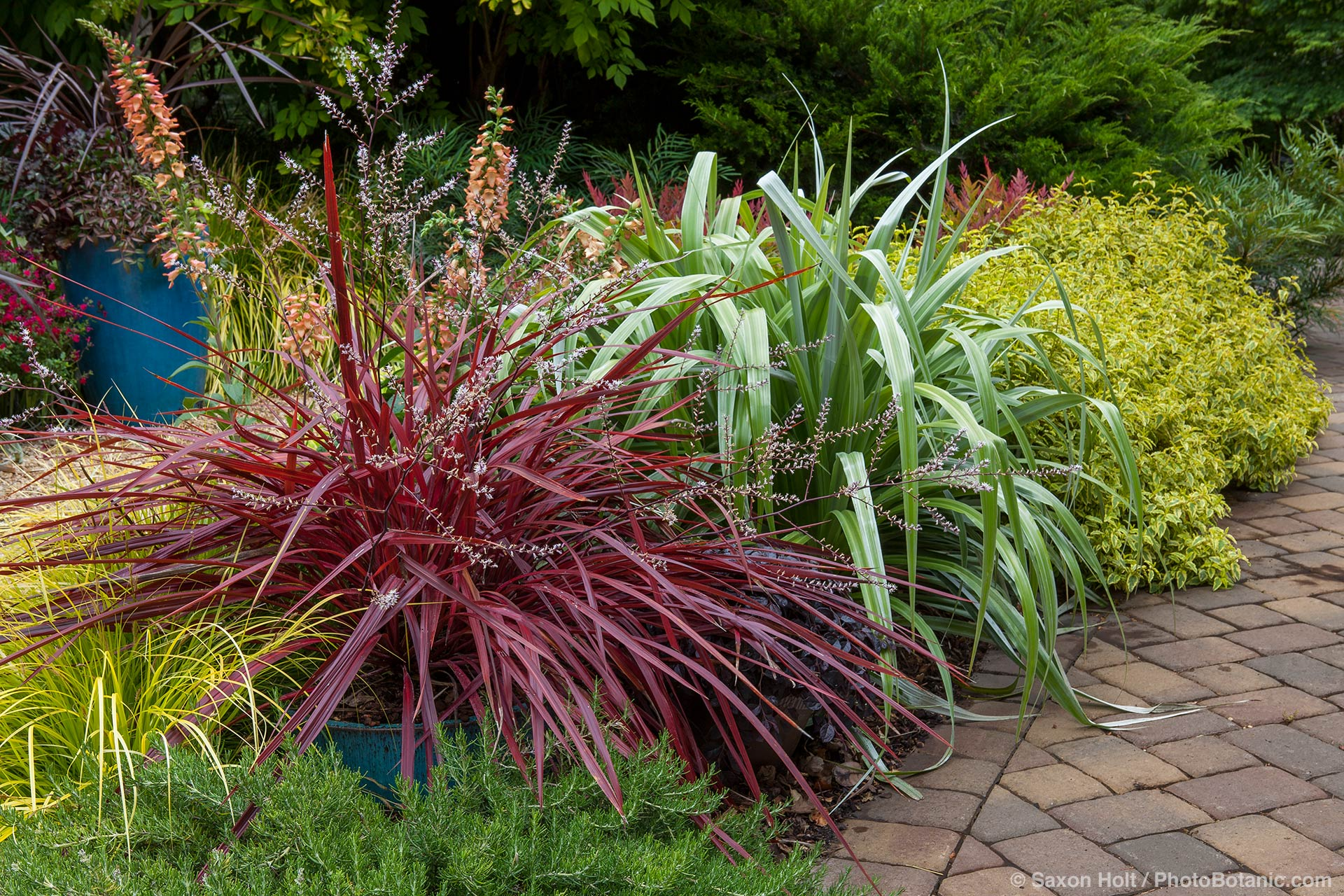 Cordyline 'Design-A-Line', red foliage perennial in garden border with Astelia 'Silver Shadow', Rosemary Chef's Choice, Digitalis Digiplexis® 'Apricot', and Cistus 'Little Miss Sunshine';  Sunset Plants