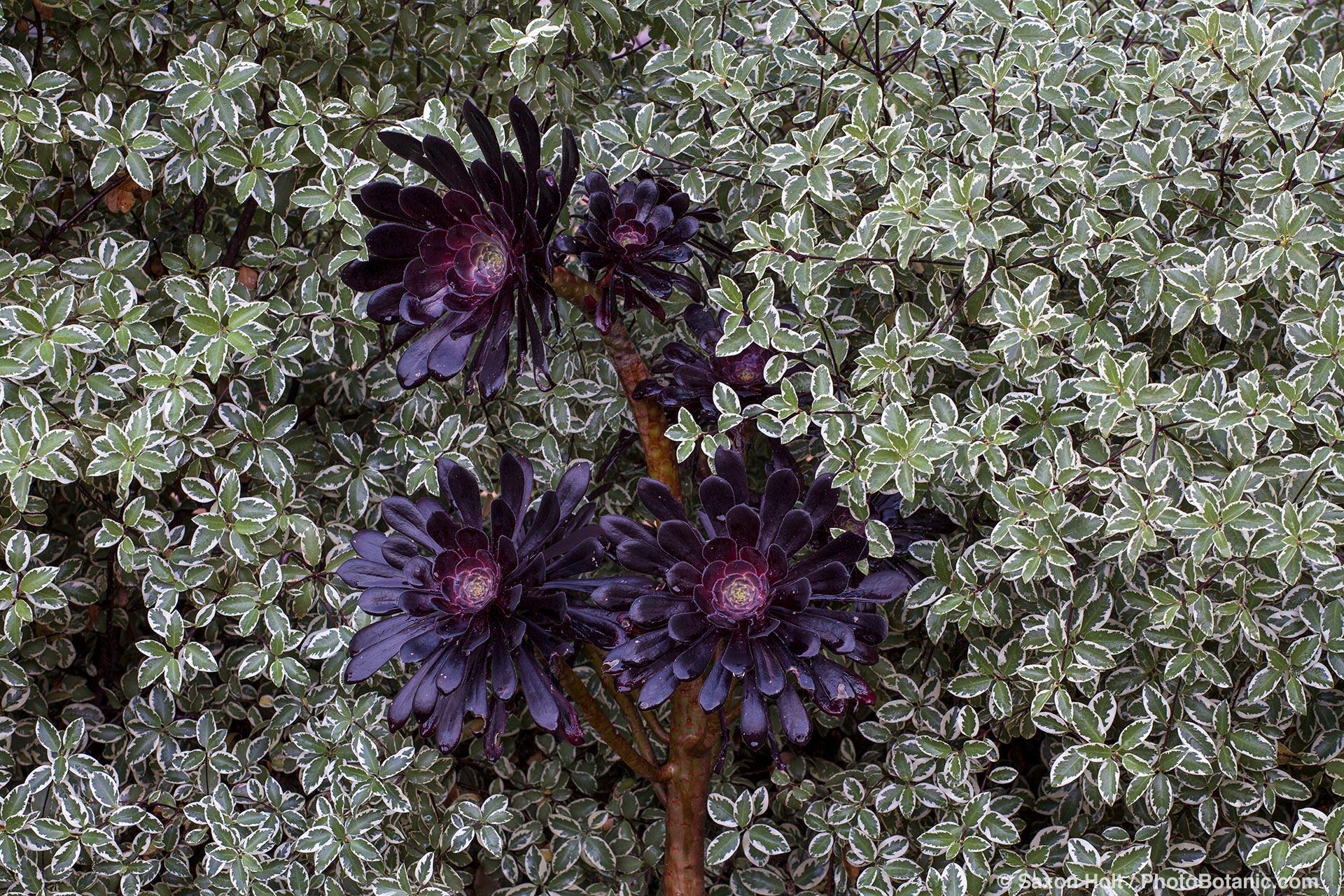 Dark purple foliage Aeonium arboreum 'Zwartkop' against hedge of variegated foliage Pittosporum tenuifolium