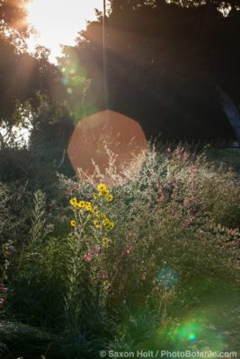 Sun flare, lens flare in California native plant pollinator garden at Los Angeles Natural History Museum