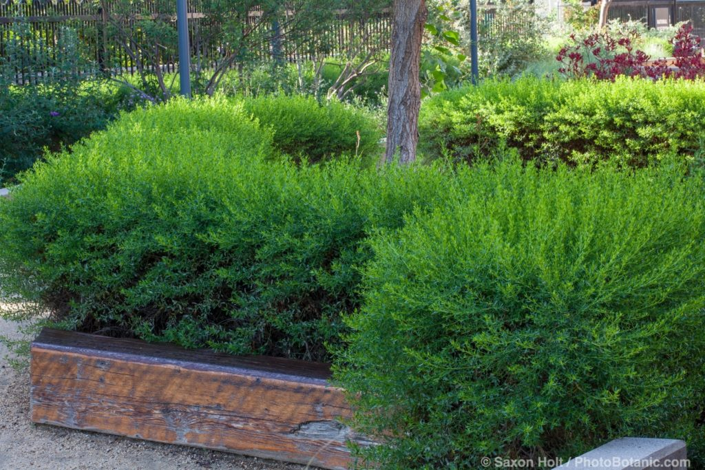 Baccharis x 'Centennial' (Centennial Coyote Brush) pruned as hedge in garden at Los Angeles Natural History Museum