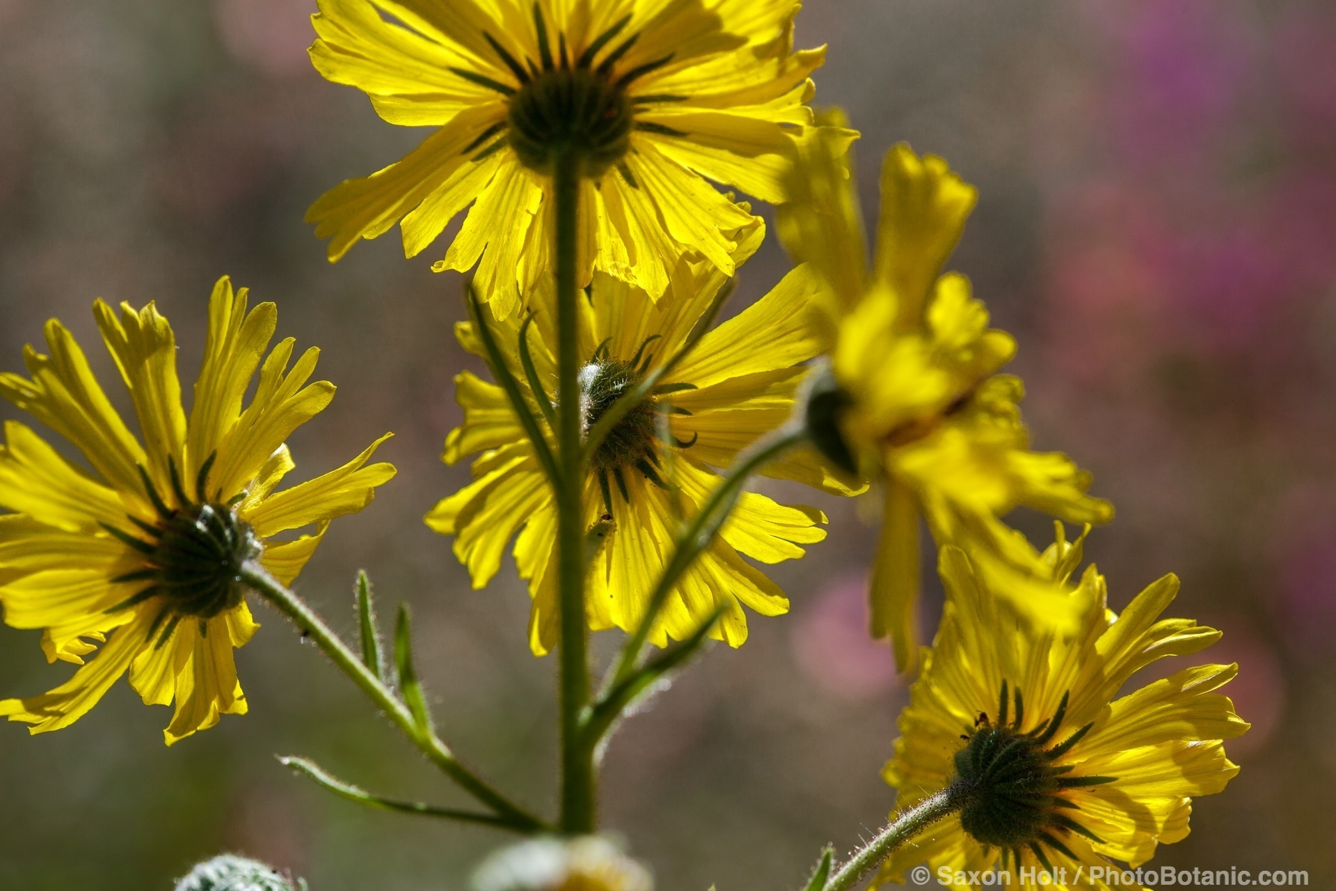 Madia elegans, Elegant tarweed, yellow flowering wildflower California native plant at Los Angeles Natural History Museum