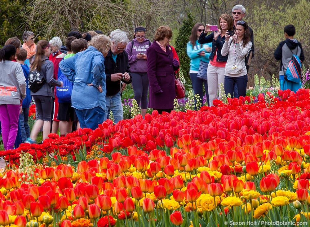 Tourists,  visitors enjoying Tulip display in the Flower Walk Garden; Longwood Garden, Pennsylvania