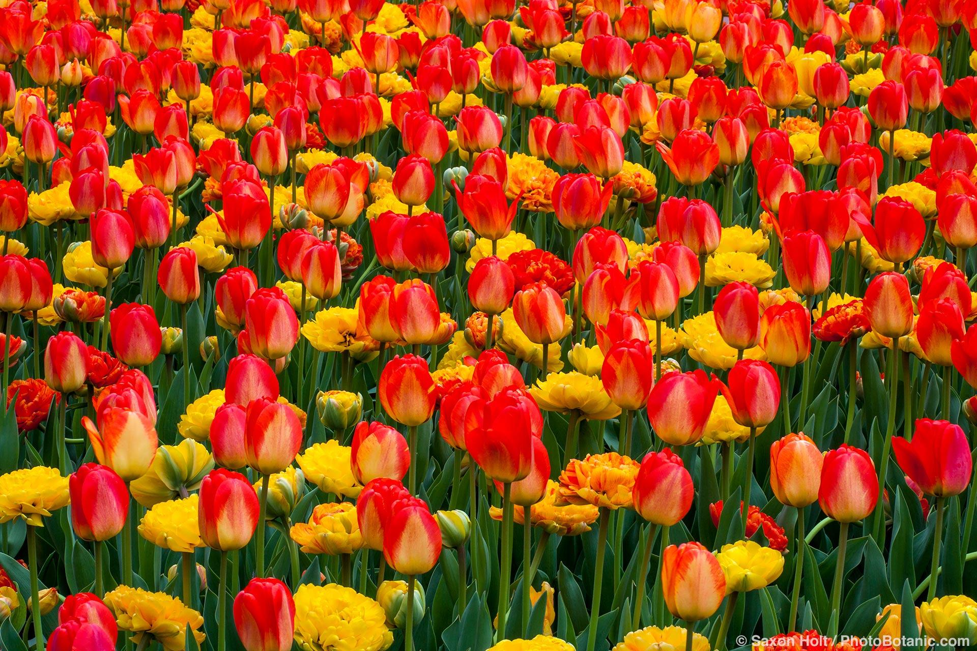 Tulip display in the Flower Walk Garden; Longwood Garden, Pennsylvania