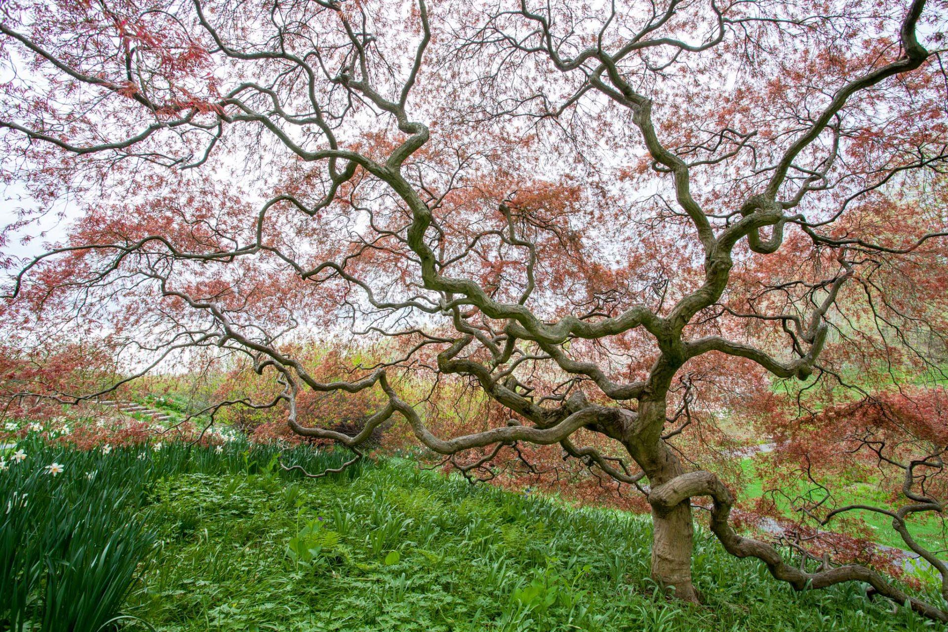 Acer palmatum dissectum atropurpureum, Red Cutleaf Japanese Maple tree, spring leaves unfolding, Winterthur Garden