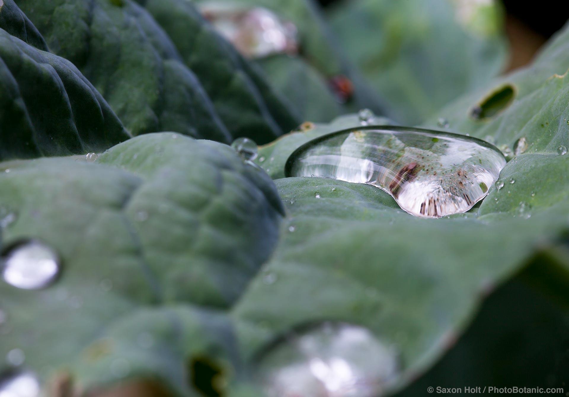 Spring rain drops on broccoli leaves in California garden