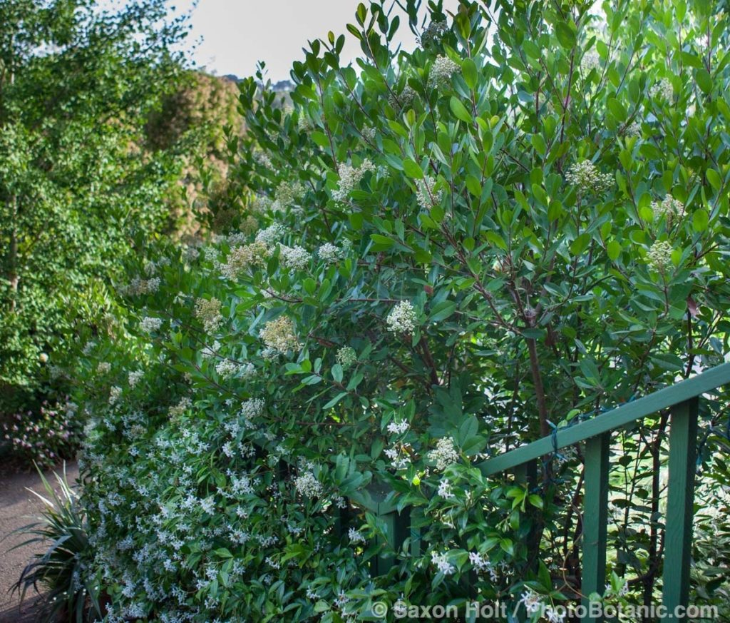 Toyon privacy hedgehedge by steps