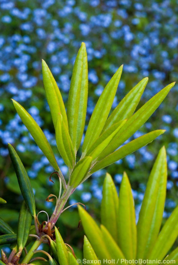 Fresh unfolding leaves of Rhododendron hyperythrum San Francisco Botanical Garden