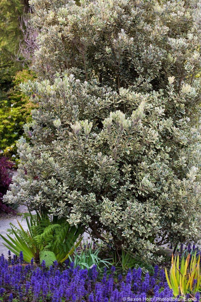 Variegated foliage drought tolerant Pohutukawa shrub, Metrosideros kermadecensis 'Variegata' in San Francisco Botanical Garden