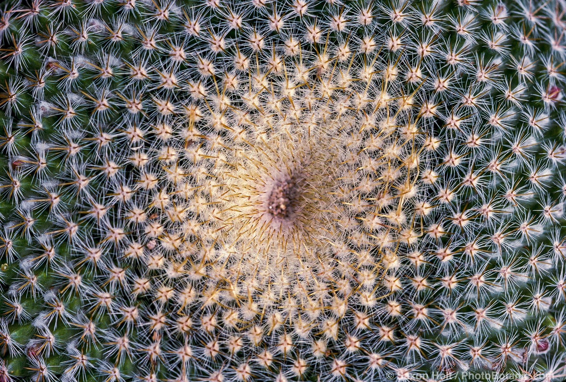 Mammillaria celsiana cactus with spiral growth pattern