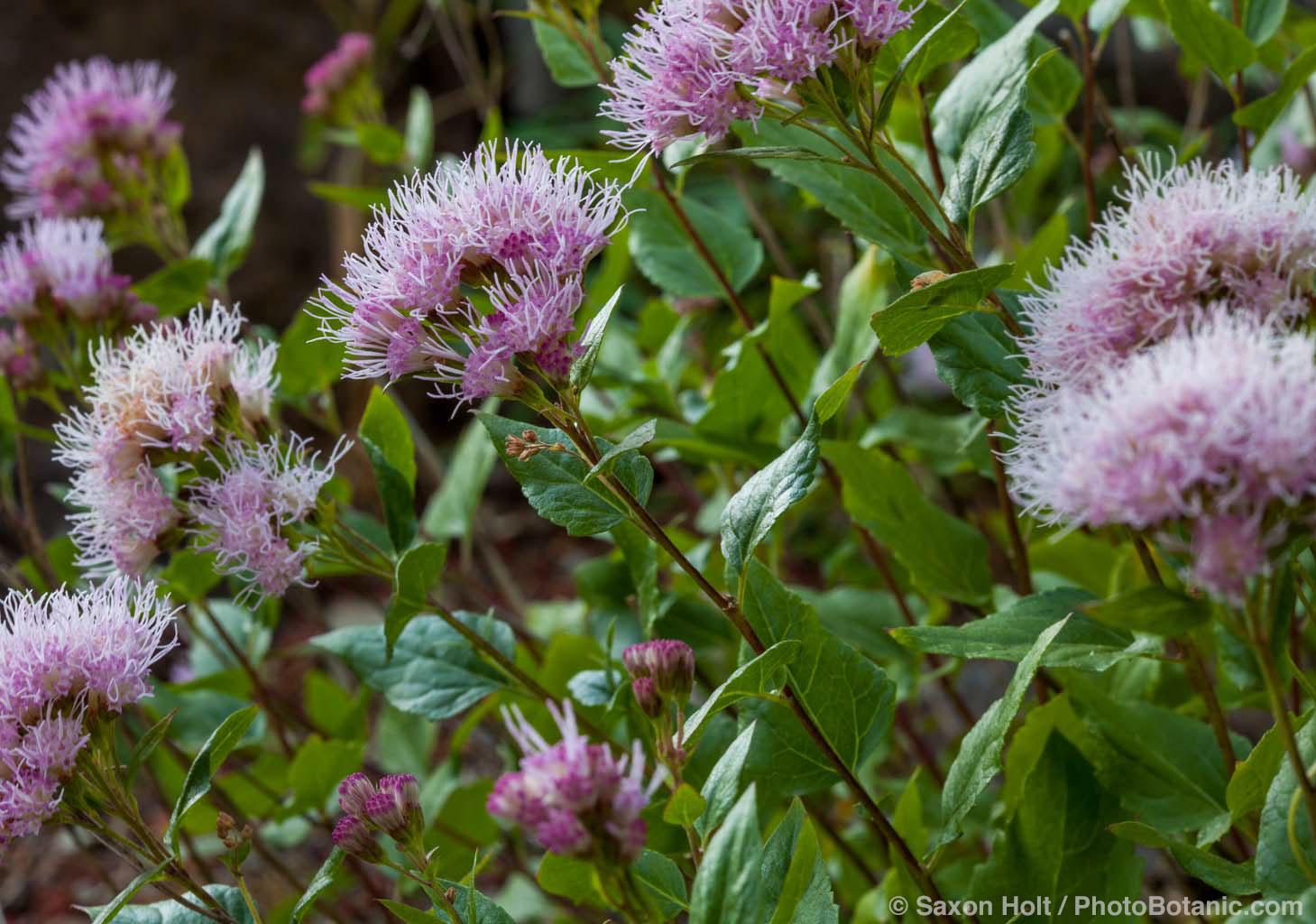 Ageratina occidentalis. Western Snakeroot flowering California native perennial