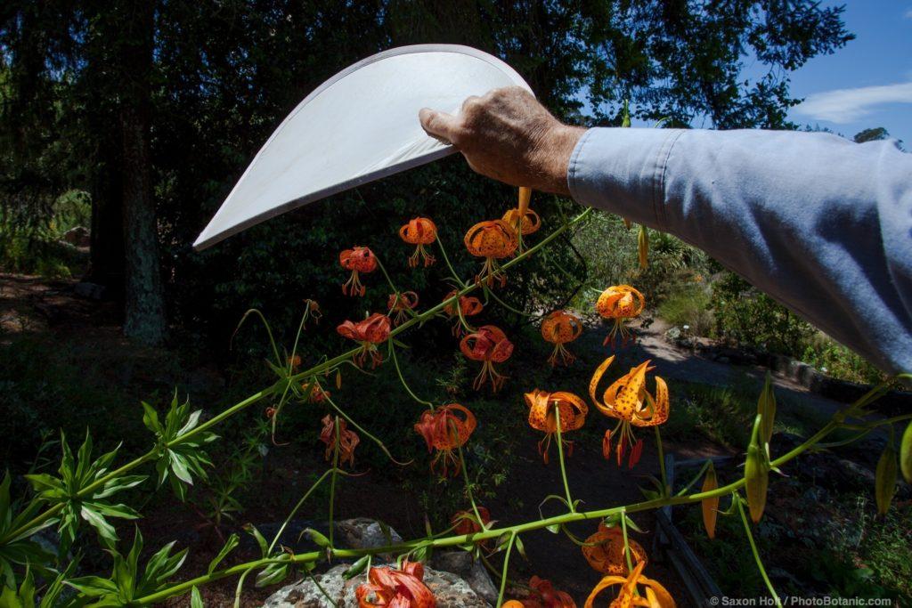 Sunlight scrim for harsh light for photographing Lilium humboldtii