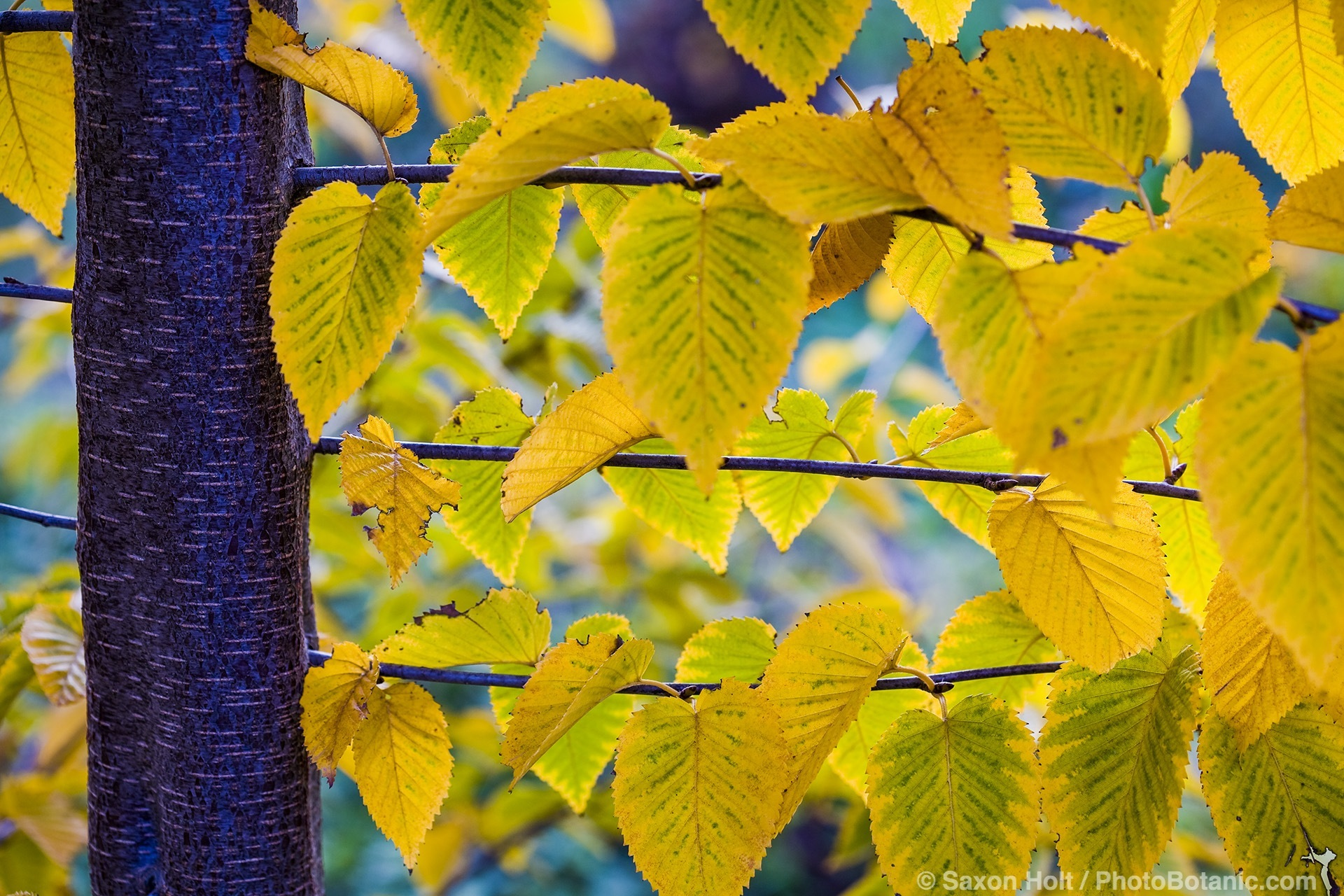 birch tree with yellow autumn leaves