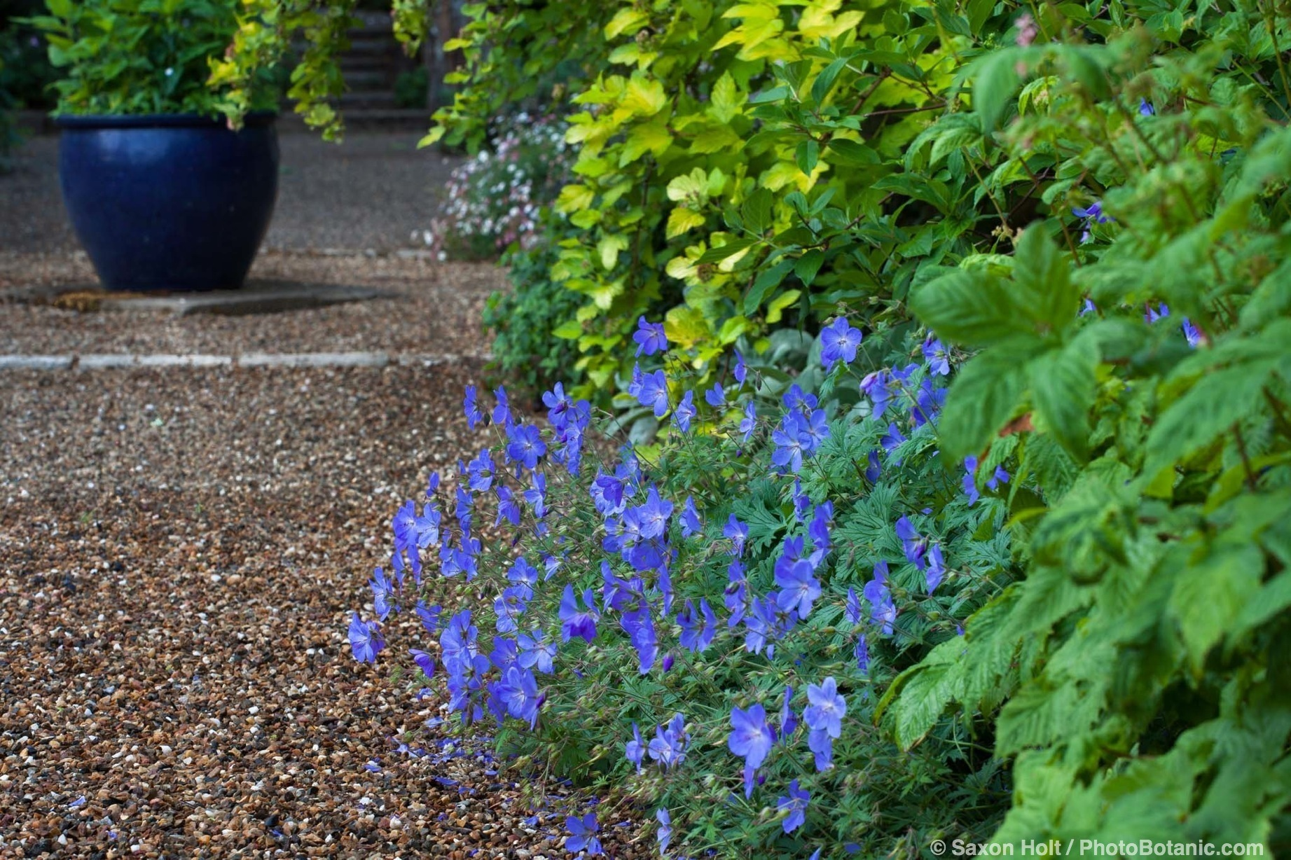 Blue flowering geranium 'Johnson's Blue' by gravel path with urn focal point; in Gary Ratway garden