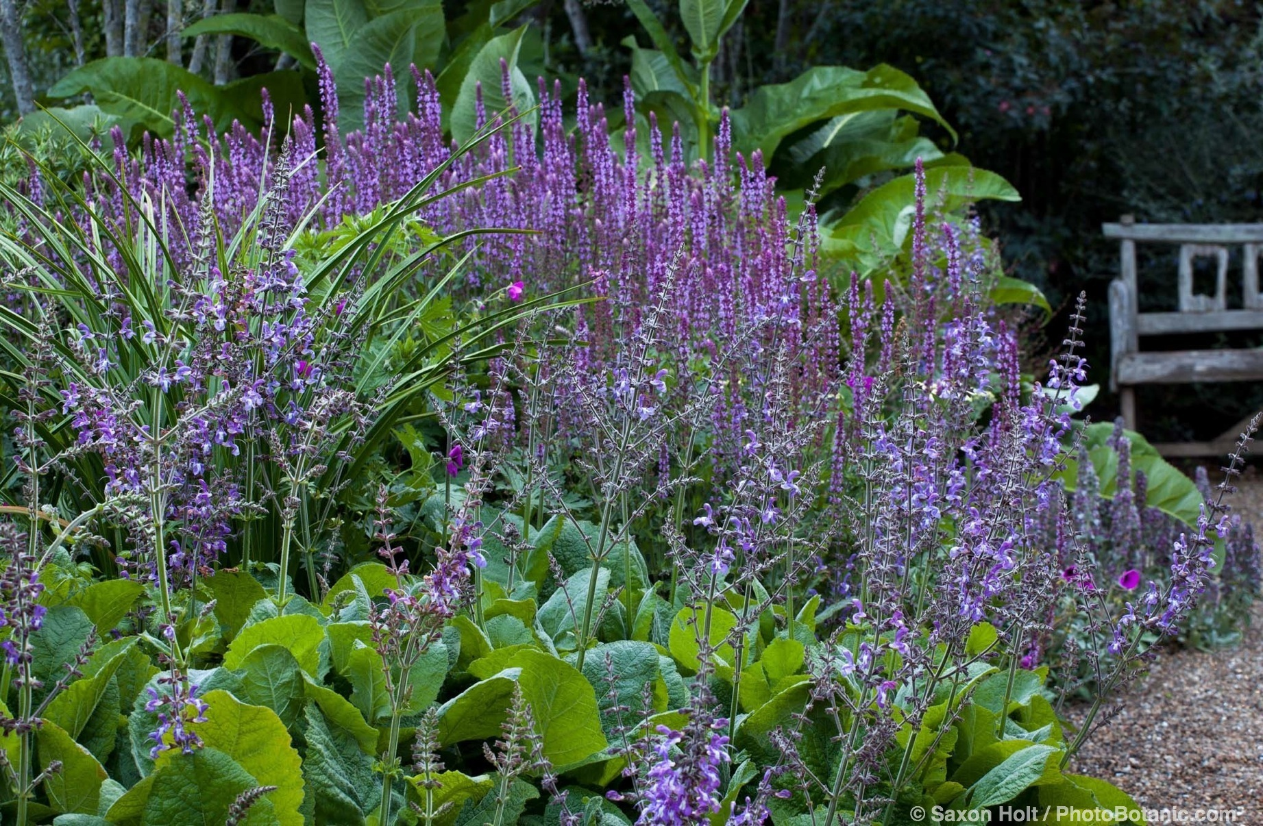 Blue flowering perennials in border with strong foliage plants; flowering sages - Salvia forsskaolii, S. nemerosa 'Amethyst', foliage of Knifophia 'Yellow Cheer' in border and Inula beyond; Gary Ratway garden