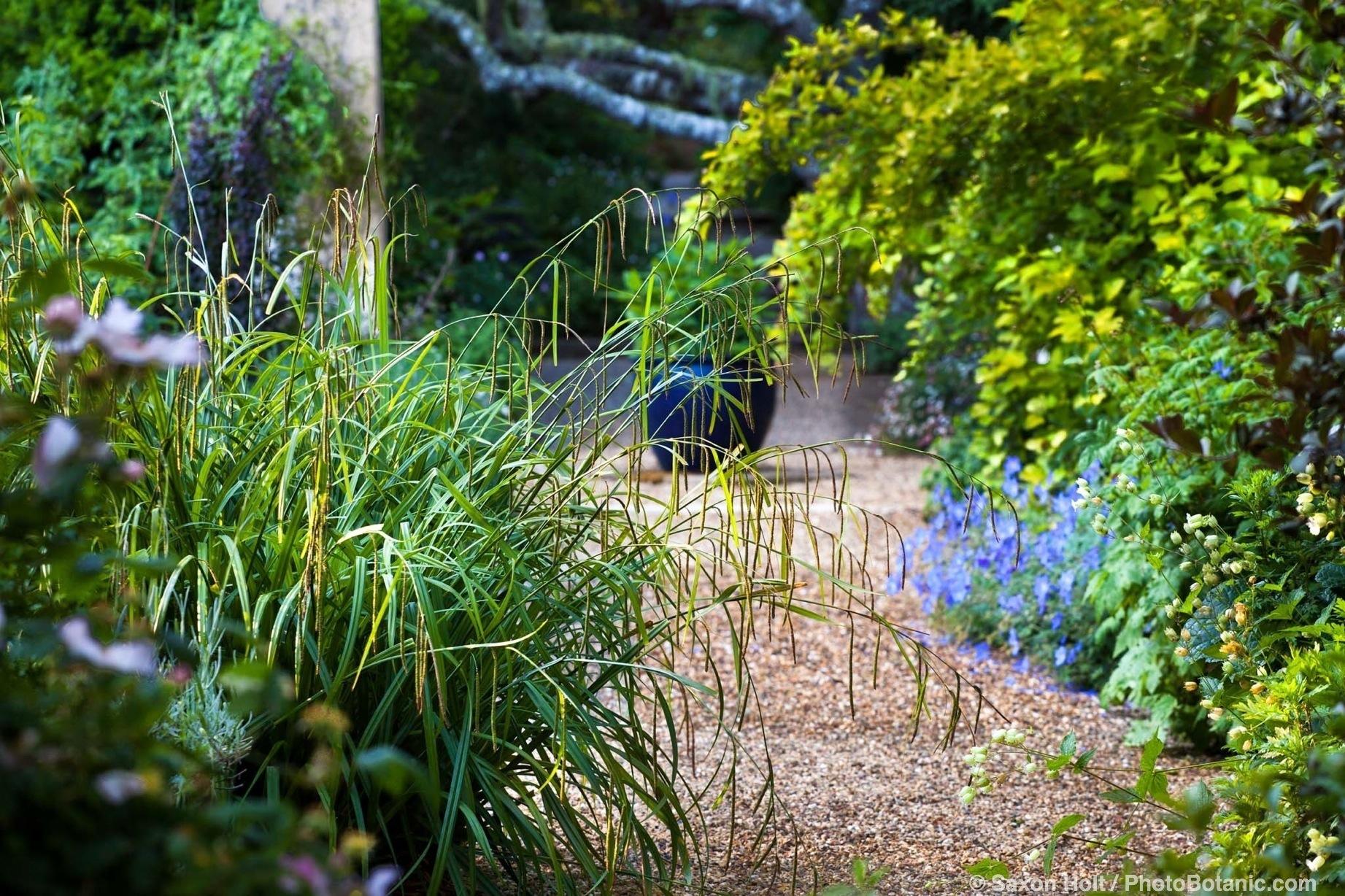 Sedge, Carex pendula flowering over pathway in Gary Ratway garden