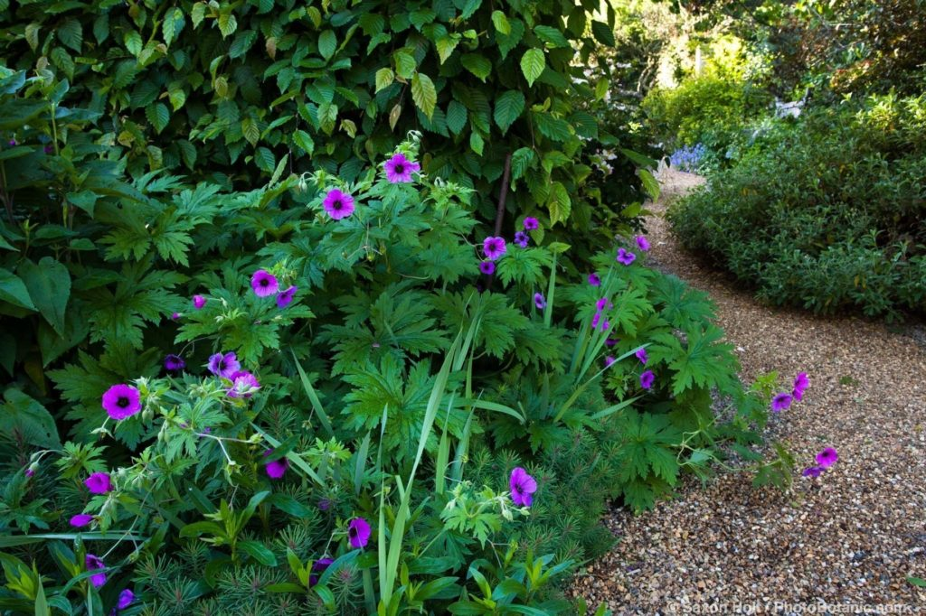 Geranium psilostemma with large foliage leaves bt gravel path in Gary Ratway garden