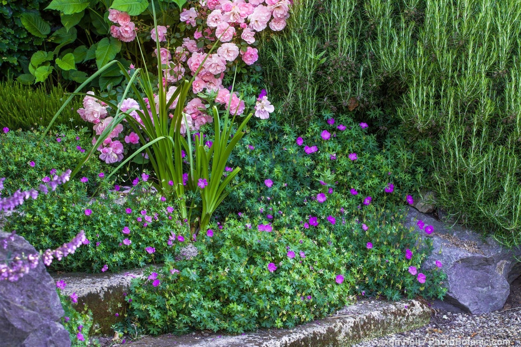 Pink flowering shrub rose 'Cornelia' in mixed border with rosemary and  flowering geranium sanguineum sprawling groundcover in cracks of stone step path; Gary Ratway garden