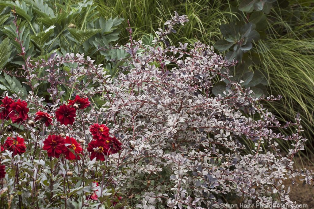 Berberis ottawiensis (aka B. thunbergia) 'Silver Mile' variegated barberry shrub in mixed border foliage garden with 'Bednall Beauty' Dahlia