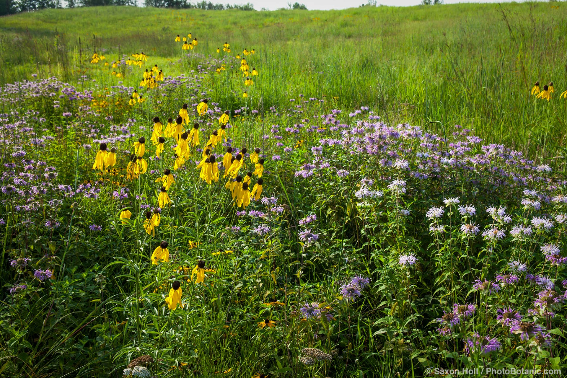 Summer, prairie wildflowers in meadow at Crow-Hassan Park, Minnesota; Gray-headed Coneflower (Ratibida pinnata), Bergamot or Bee Balm (Monarda fistulosa)