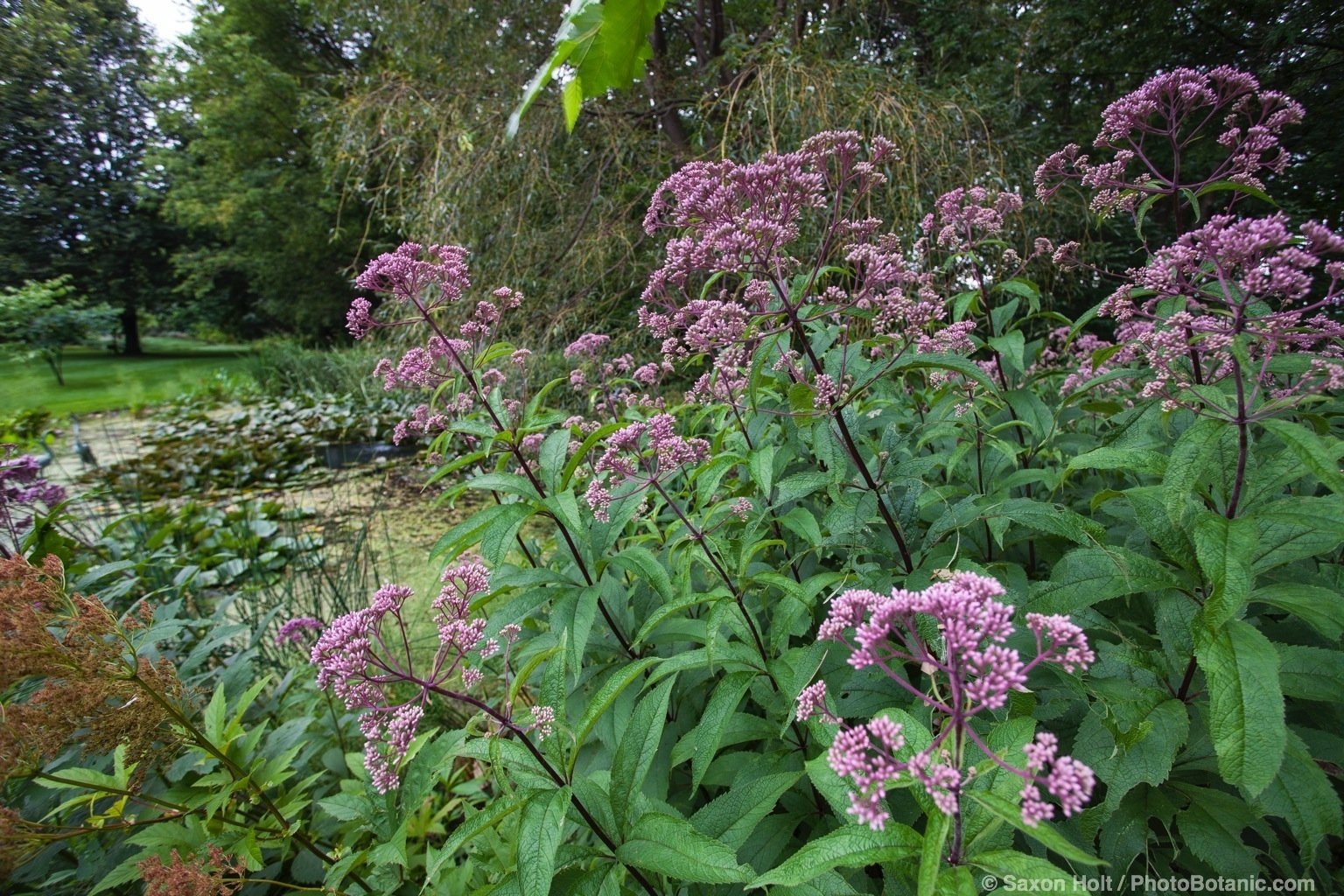 Eutrochium purpureum (aka Eupatorium purpureum), Joe-Pye weed native perennial flowering by bog in Minnesota garden