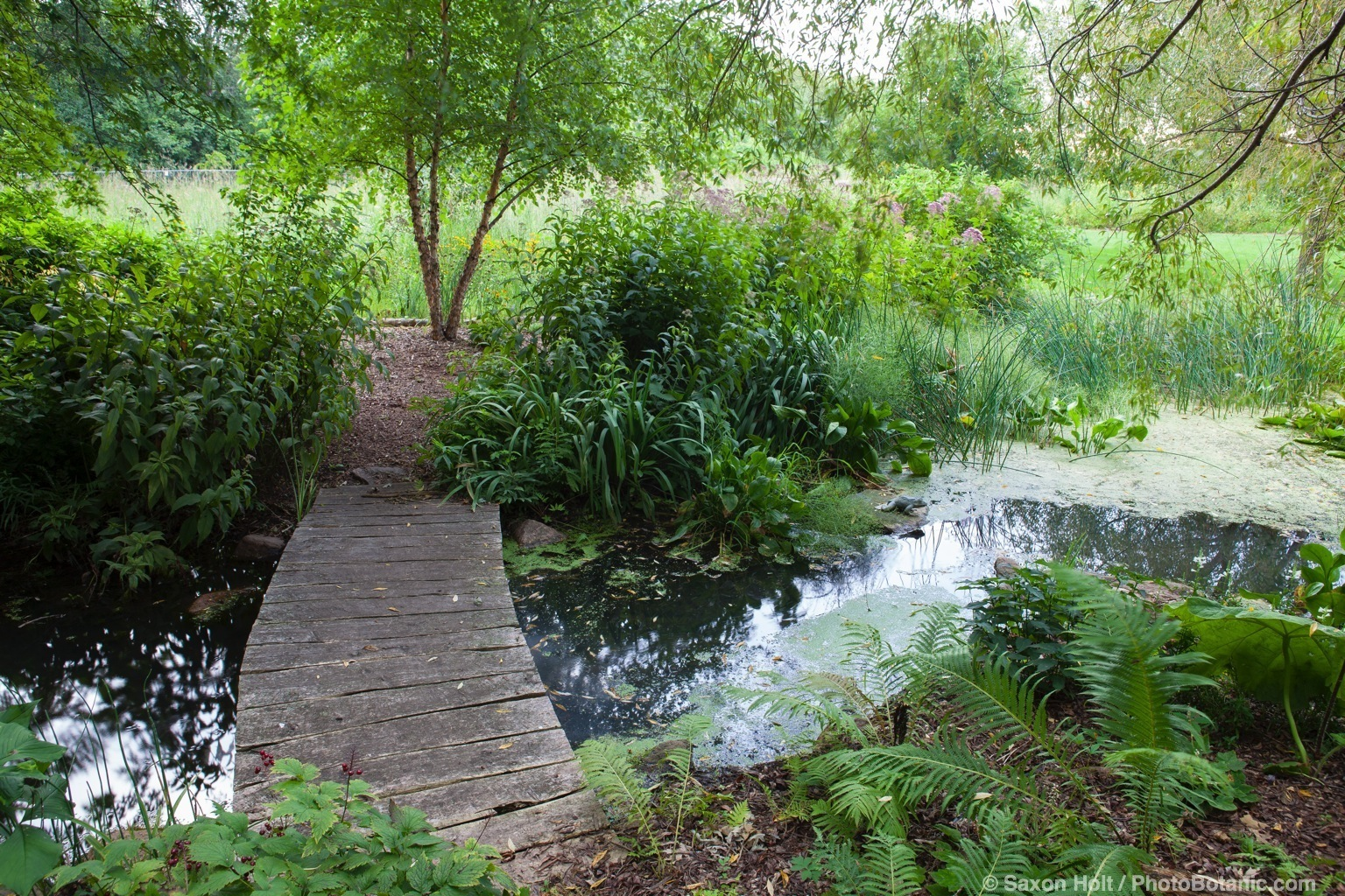 Boardwalk wooden bridge path over stream in naturalistic garden