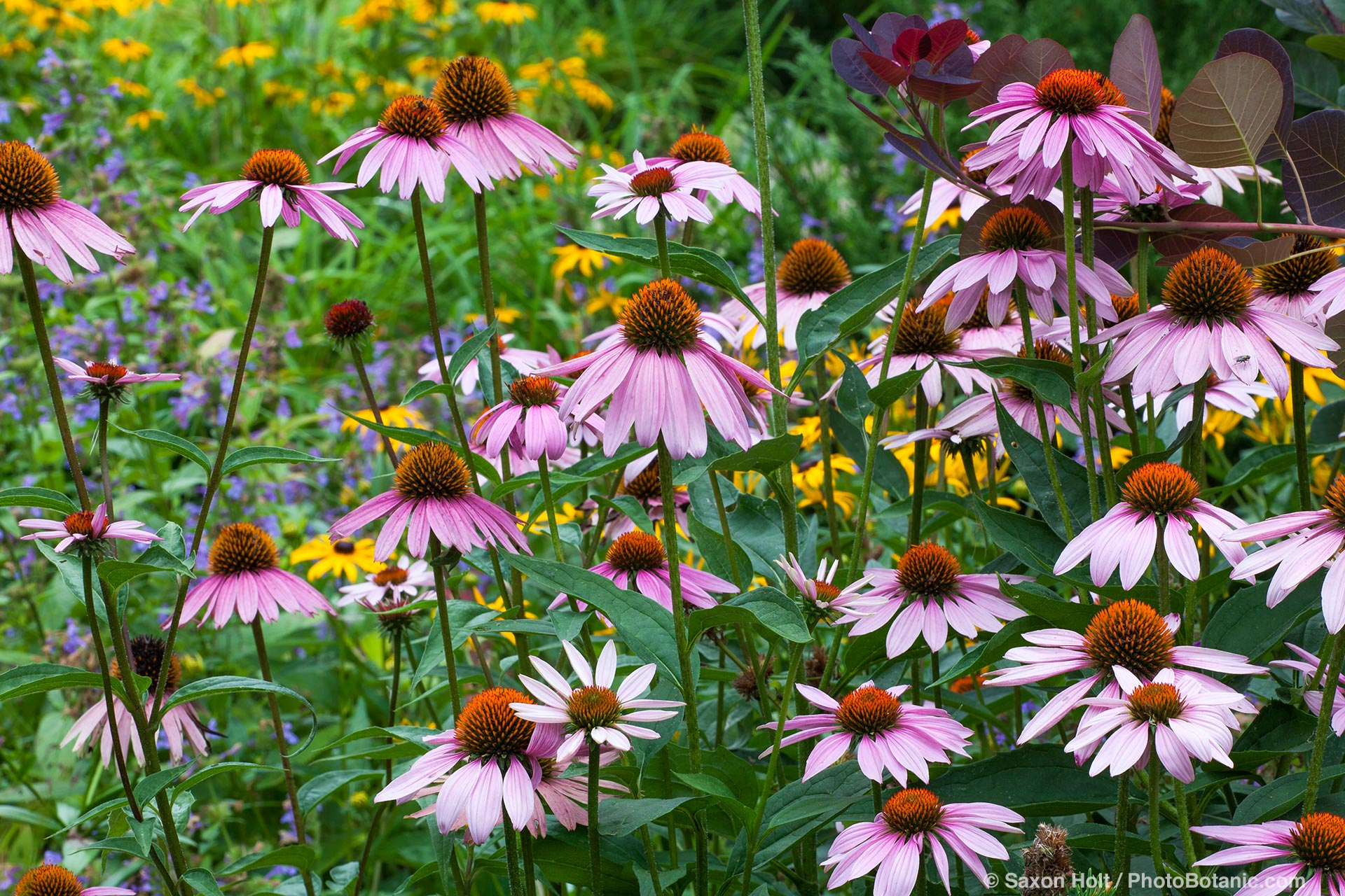 Echinacea purpurea, Purple Cone Flower, native wildflower in Minnesota garden