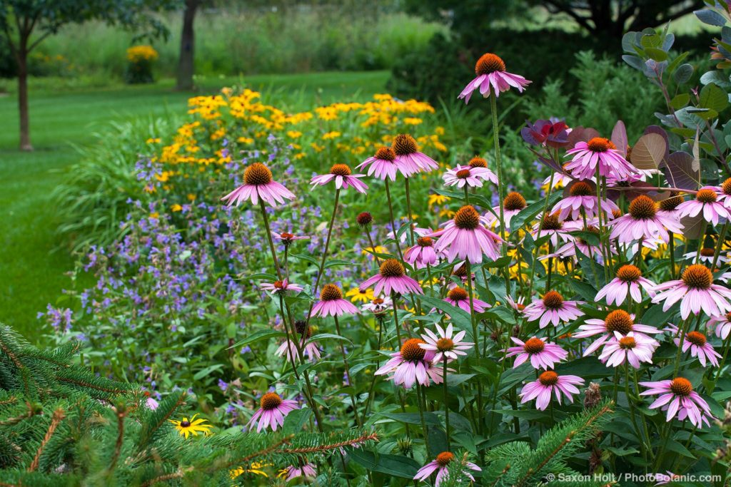 Perennial border with Purple Cone Flower (Echinacea purpurea) in Minnesota summer garden