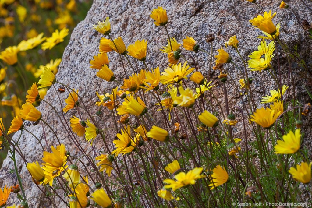 Ursinia cakilefolia, parachute daisy, flowering in South African section of University of California Berkeley Botanical Garden