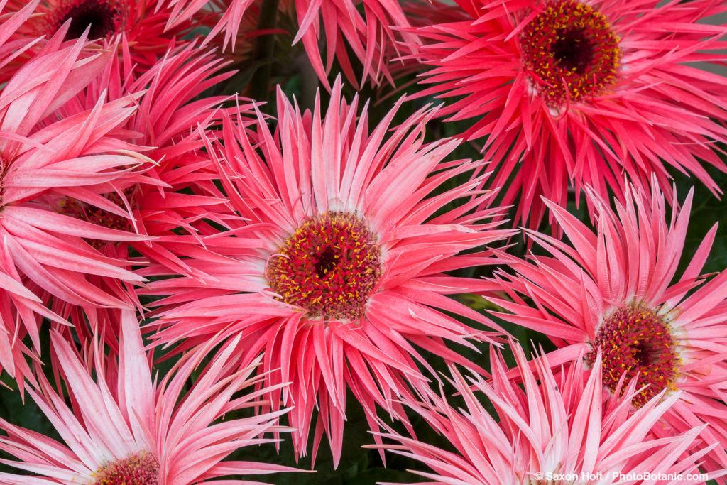 Gerbera jamesonii F1 'Festival Spider', Transvaal daisy from Sakata Seeds