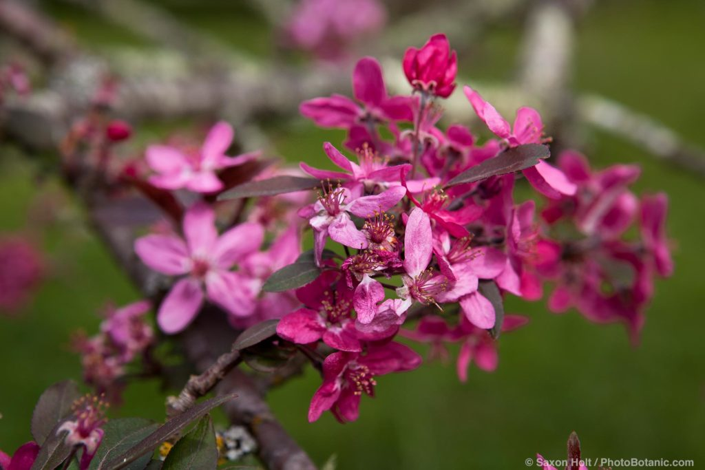 Unnamed crabapple tree hybrid (Malus sp) with bright pink flowers at Luther Burbank Gold Ridge Farm