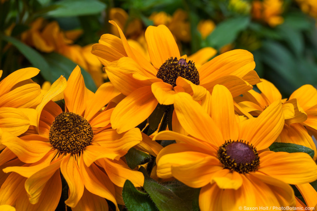 Rudbeckia hirta 'TigerEye' yellow flowering perennial