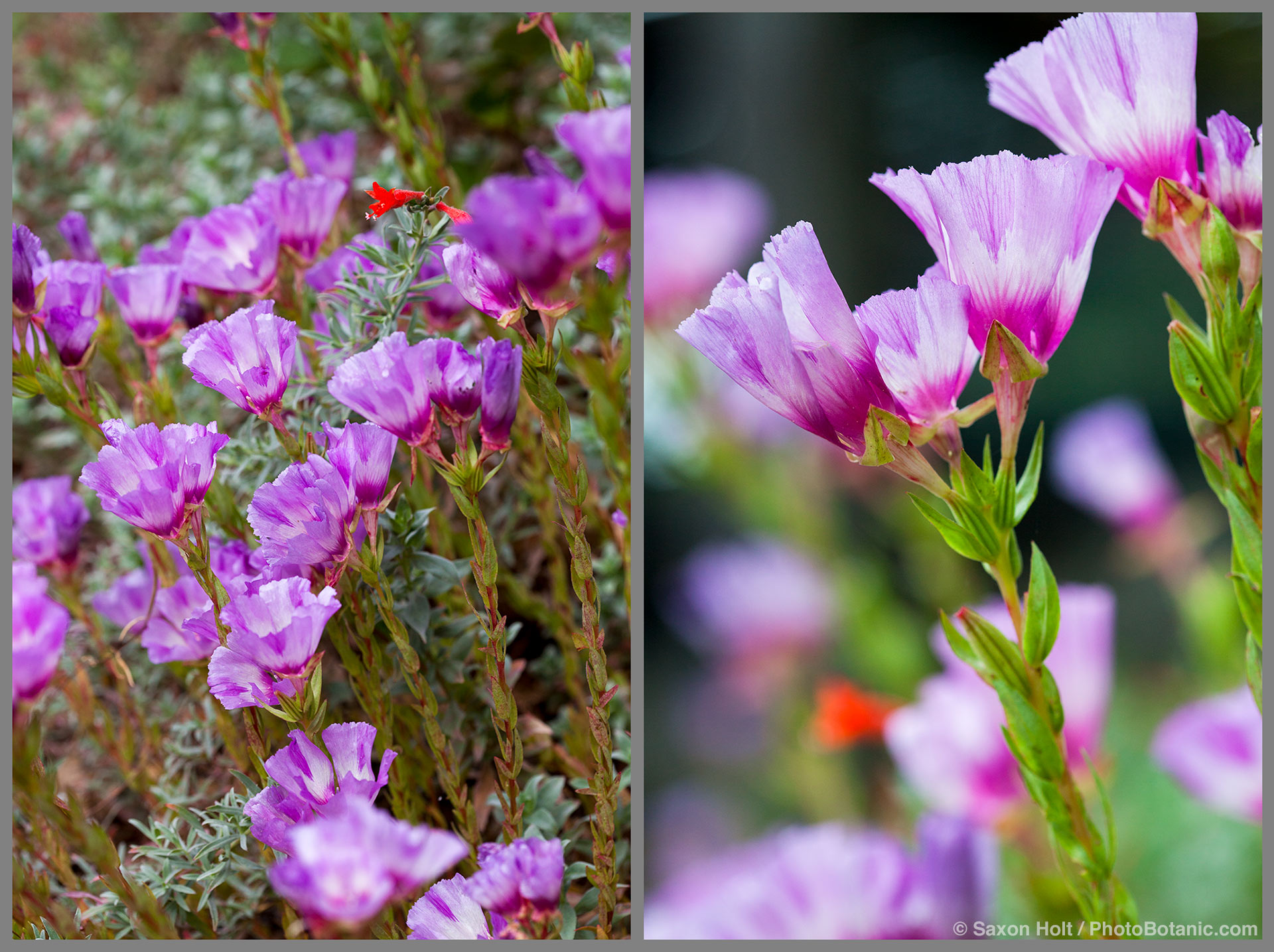 Clarkia williamsonii - Foothill Clarkia flowering annual wildflower, California native plant